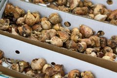 Tulip bulbs are stored in boxes prepared for planting. Agriculture Stock Photography