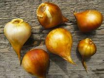 Tulip bulbs    on a wooden background. Tulip bulbs  on a wooden background. Top view Stock Images