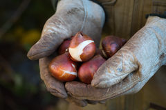 Tulip Bulps Royalty Free Stock Image