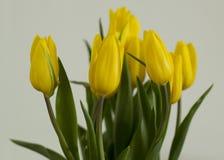 Tulip Bunch amarela Fotografia de Stock Royalty Free