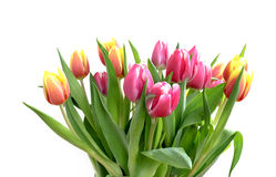 Tulip bunch isolated Stock Image