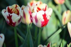 Tulip Burning Heart stock afbeeldingen