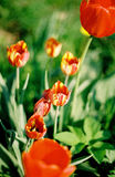 Tulip bush. At dacha with green backround Stock Image