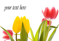 Tulip card Stock Images