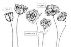 Tulip, Carnation and Poppy flowers drawing and sketch with line- Royalty Free Stock Photography