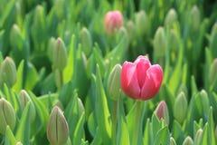 Tulip Carola rosa 1 Fotografie Stock