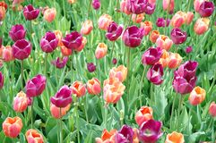 tulip carpet Royalty Free Stock Images