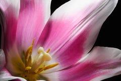 Tulip Center Foto de Stock Royalty Free