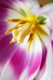 Tulip Center Photo libre de droits