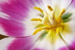 Tulip Center Imagen de archivo libre de regalías