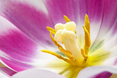 Tulip Center Photo stock