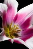 Tulip Center Images stock