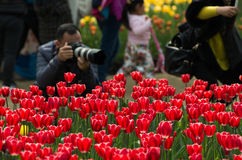 Tulip in China stock photography