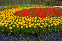 Tulip circles. Circles of Tulips blooming in holland Stock Images
