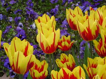 Tulip. In the city Park Amsterdam Royalty Free Stock Images