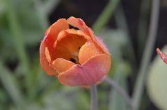 Tulip class Triumph varieties big chief. Petals cream or pinkish with a crimson-red back, the inner surface of the. Scarlet. The bottom is rounded, yellow with stock photography