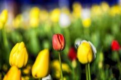 Tulip Close acima Fotografia de Stock Royalty Free