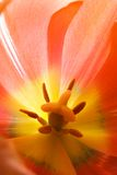 Tulip close-up. Close-up of pistils inside of a red tulip royalty free stock photo
