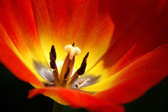Tulip, close-up. Close-up of a red tulip flower Royalty Free Stock Photography
