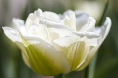 Tulip close-up Royalty Free Stock Photos