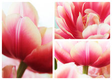 Tulip close up macro collage Stock Images