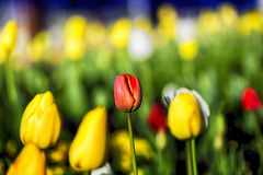 Tulip Close up Royalty Free Stock Photography