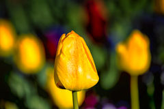 Tulip Close up Stock Image