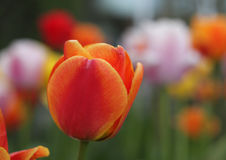 Tulip close-up Royalty Free Stock Photo