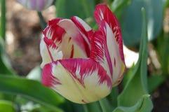 Tulip Close Up roja y blanca Imágenes de archivo libres de regalías