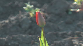 Tulip. Close up shot of beauty bud of a red tulip on a blurred background stock video