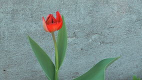 Tulip. Close up shot of beauty red tulip against a concrete wall stock video