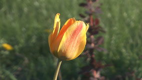 Tulip. Close up shot of beauty yellow tulip on a blurred background stock video