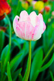 Close up shot of floral white Tulip Royalty Free Stock Image