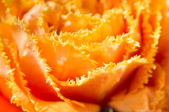 Tulip close-up shot Stock Images