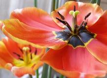 A tulip. Close-up of a tulip, uncover a tulip Stock Photos