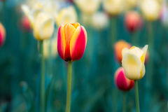 Tulip. Close up of yellow and orange tulips in field Royalty Free Stock Image
