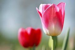 Tulip Closeup Stock Image