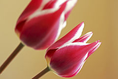 Tulip Closeup Royalty Free Stock Photos