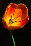 Tulip closeup. Closeup of a tulip in sunlight, isolated on a black background Royalty Free Stock Images