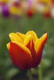 Tulip Closeup roja y amarilla Fotos de archivo