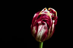 Tulip. Closeup of a vivid tulip. Black background royalty free stock photos