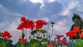 Tulip and clouded sky. Flowers color red and clouded sky stock images