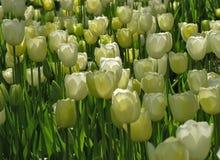 Tulip Cluster branca na mais baixa luz imagem de stock royalty free