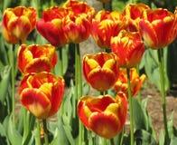Tulip Cluster rouge et jaune de tiges image libre de droits
