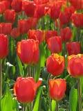 Tulip Cluster vermelha na luz solar foto de stock royalty free