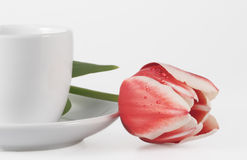 Tulip and coffee cup. Red tulip and white coffee cup Stock Photography