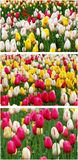 Tulip collage Royalty Free Stock Image