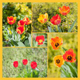 Tulip collage. Tulips in a 5-photo collage Royalty Free Stock Images