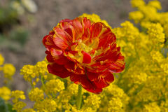 Tulip Color Cascade Stockfoto