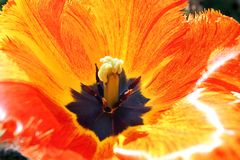 Tulip Color Cascade. Tulip opens its Petals to the bright Sunshine stock photos